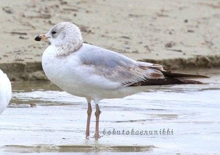 Ring-billed Gull 1st winter.JPG