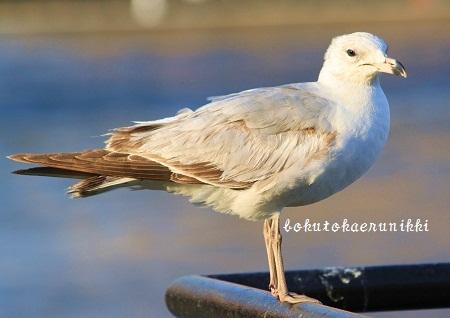 Ring-billed Gull 2nd Winter (1).JPG