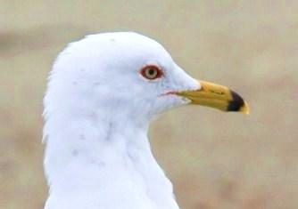 Ring-billed Gull winter (4) - コピー.JPG