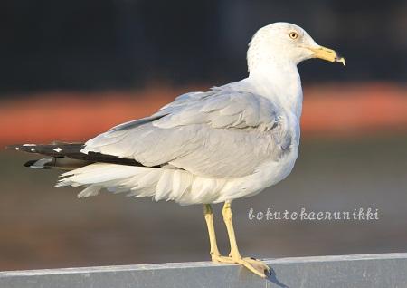 Ring-billed Gull winter (1).JPG