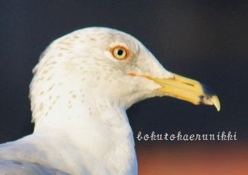 Ring-billed Gull winter (1) - コピー.JPG