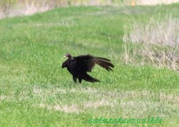 Turkey Vulture (14).JPG