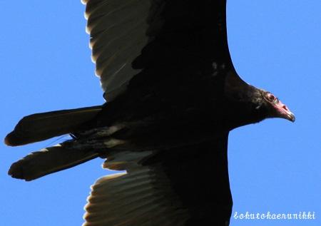 Turkey Vulture (2).JPG