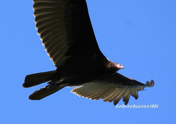 Turkey Vulture (3).JPG