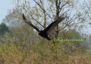 Turkey Vulture (7).JPG