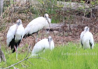Wood Stork アメリカトキコウ (1).JPG