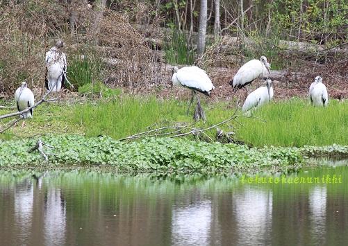Wood Stork アメリカトキコウ (4).JPG